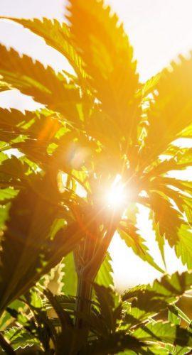 Hemp plant in the sunlight
