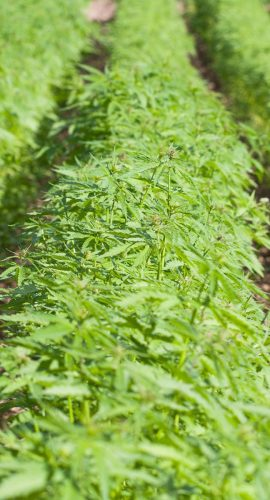 Rows of hemp growing on a farm